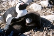 Brillenpinguin/Jackass penguin (00000612)