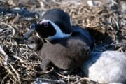 Brillenpinguin/Jackass penguin (00000613)