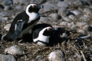 African penguin family (00000618)