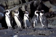 African penguins (00003508)