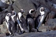 African penguins on Dyer island (00003527)