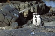 Brillenpinguin/Jackass penguin (00003574)