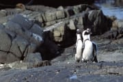 Brillenpinguin/Jackass penguin (00003575)