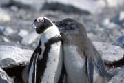 African penguin family (00003584)