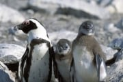 African penguin family (00003594)