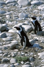 Two African penguins (00003599)