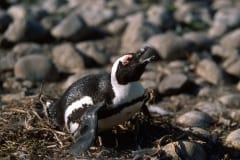 African penguin on Dyer island
