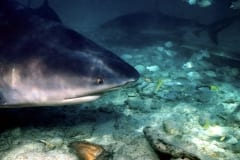 Side view of a bull shark in shallow water (00007419)