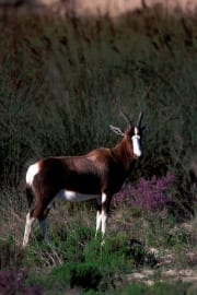 Bontebok standing in undergrowth (00010983)