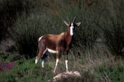 Bontebok standing in undergrowth (00011013)