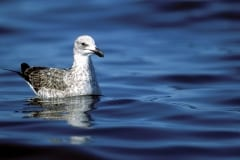Young Kelp Gull on the sea
