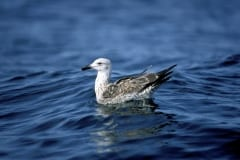 Young Kelp gull on the sea (00006945)