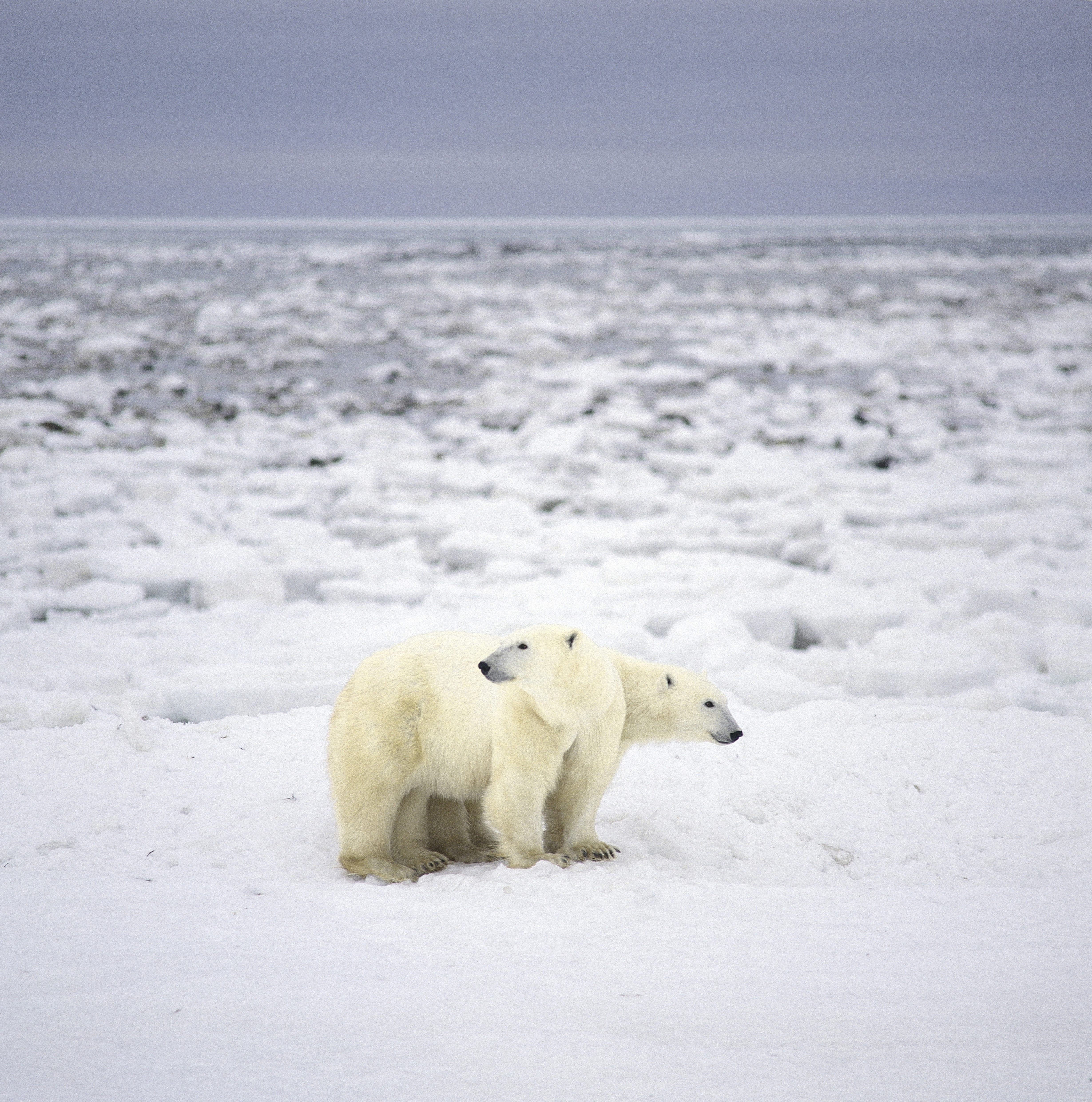 Polar bears in the endless Arctic-wide