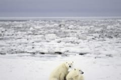 Polar Bear mother and cub in the Hudson Bay