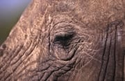 Close up of African Elephants eye (00013352)