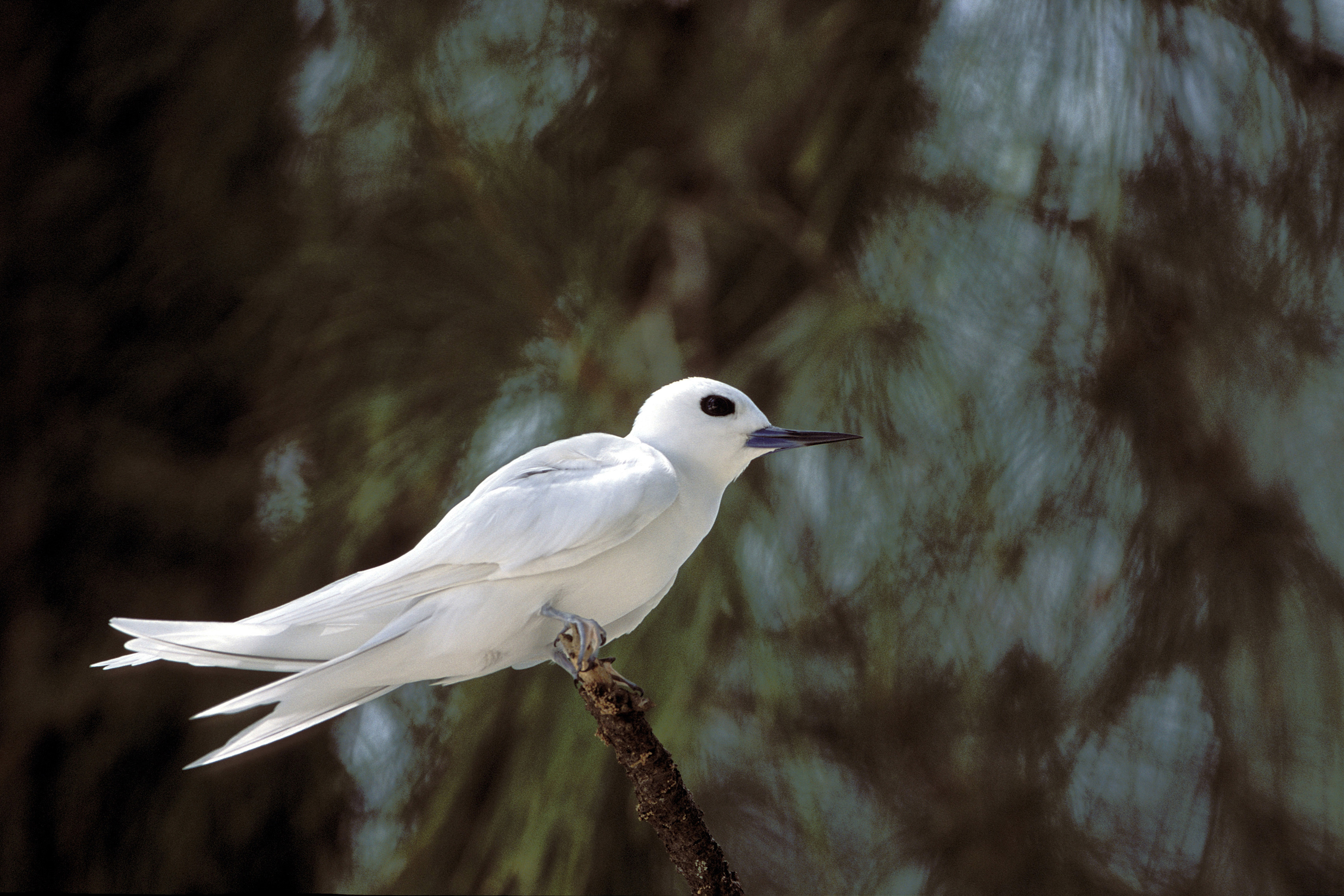 White tern sitting on a branch end (00005589)