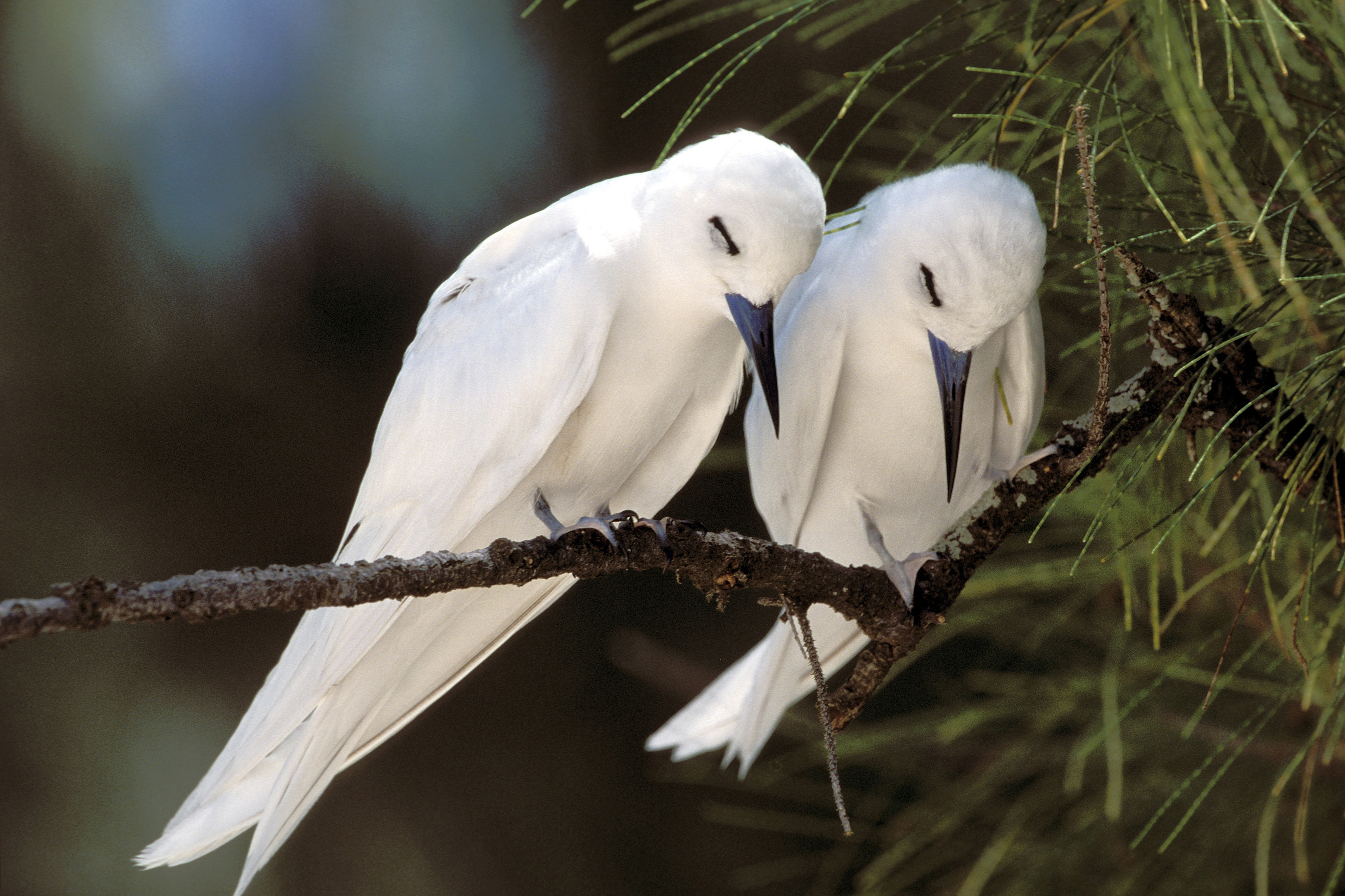 White terns resting on the tree (00005813)
