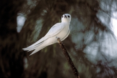 White tern sitting on a branch end (00005621)