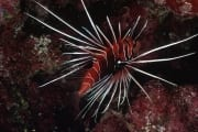Clearfin lionfish in the coral reef