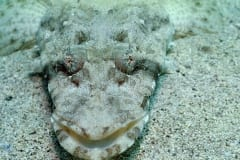 Indian Flathead on sand