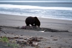 A grizzly has a washed up beluga whal buried