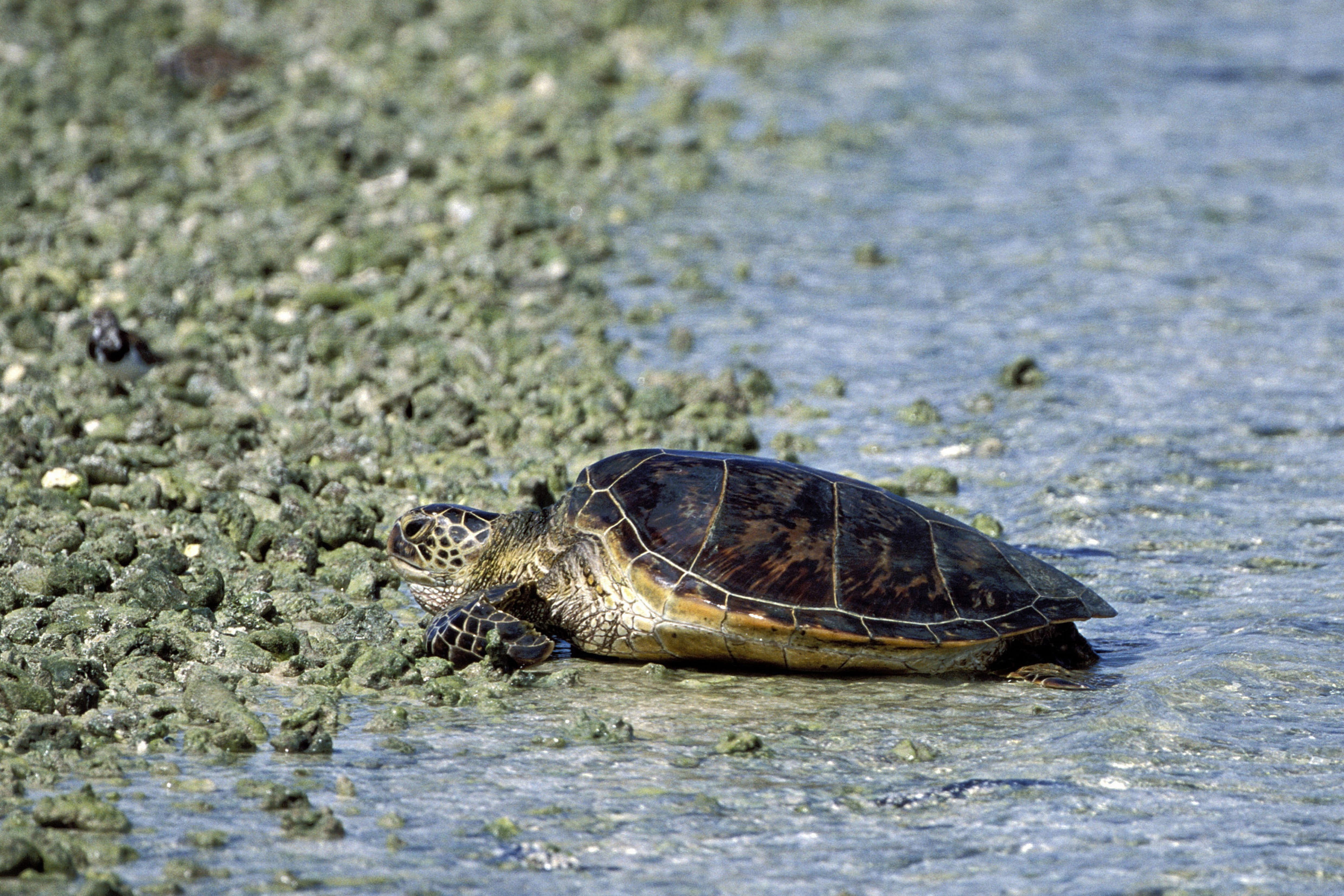 Green sea turtle comes ashore (00006825)