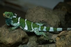 Fiji crested iguana moves on rocks