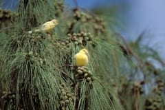 Two canaries in Tree, Midway, Hawaiian islands (00005535)
