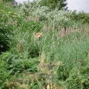 Brown Bear and fireweed (00090008)