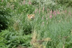 Brown Bear and fireweed
