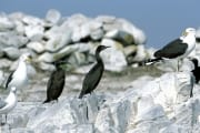 Bank Cormorants and Kelb gulls
