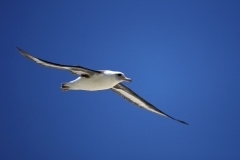 Flying Laysan albatross above the sea