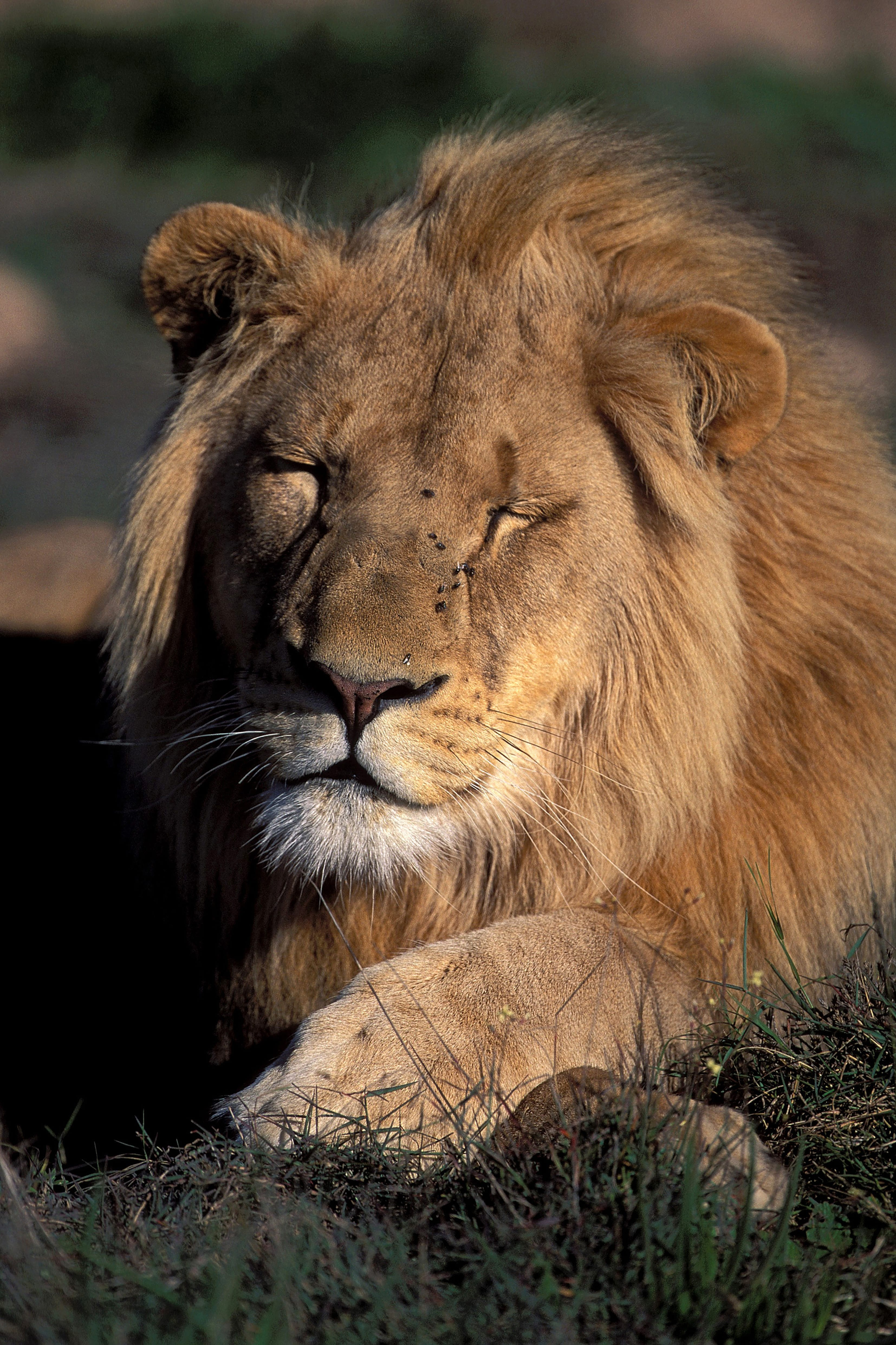 A tired Male lion (00010689)