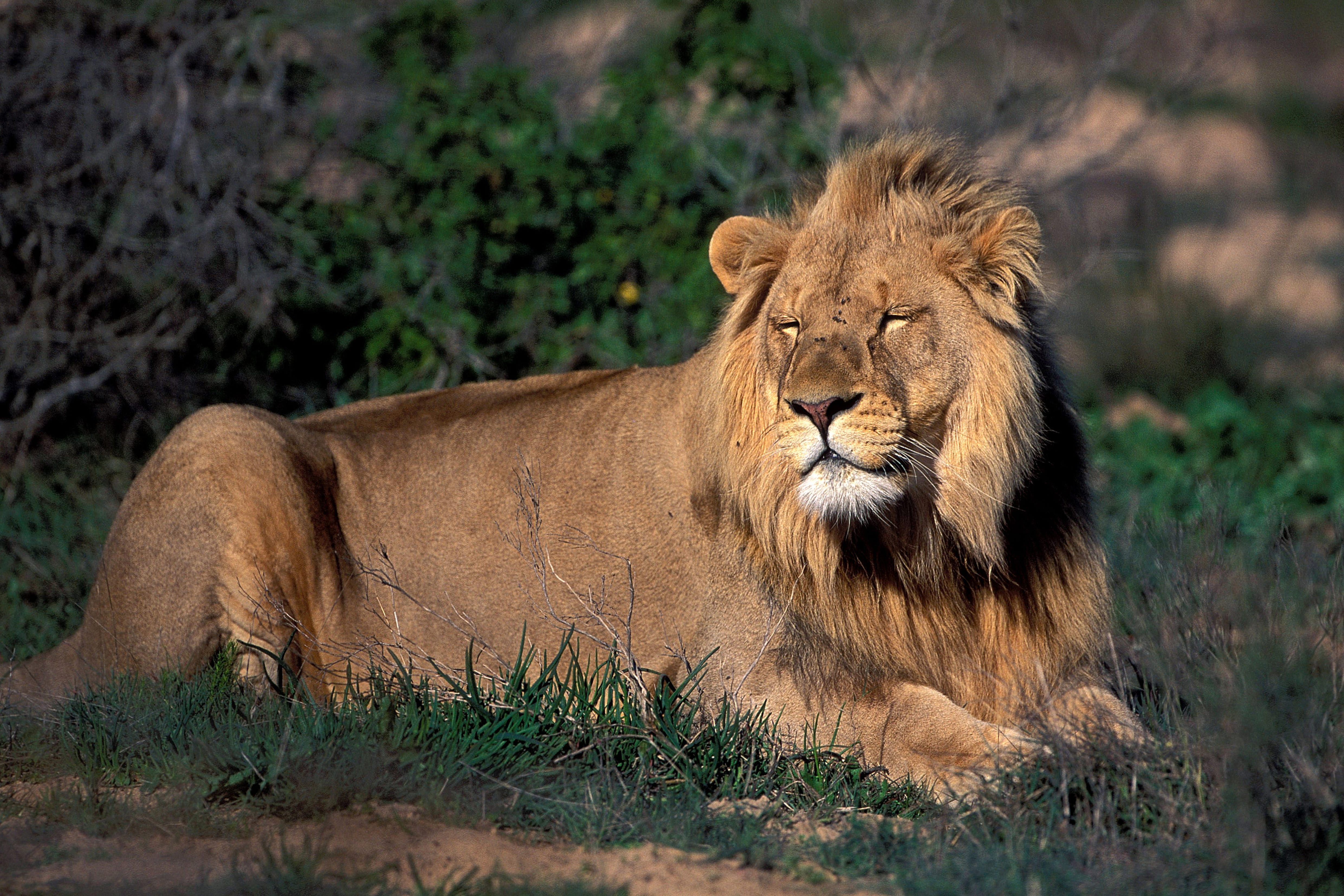 Resting Male Lion (00010813)