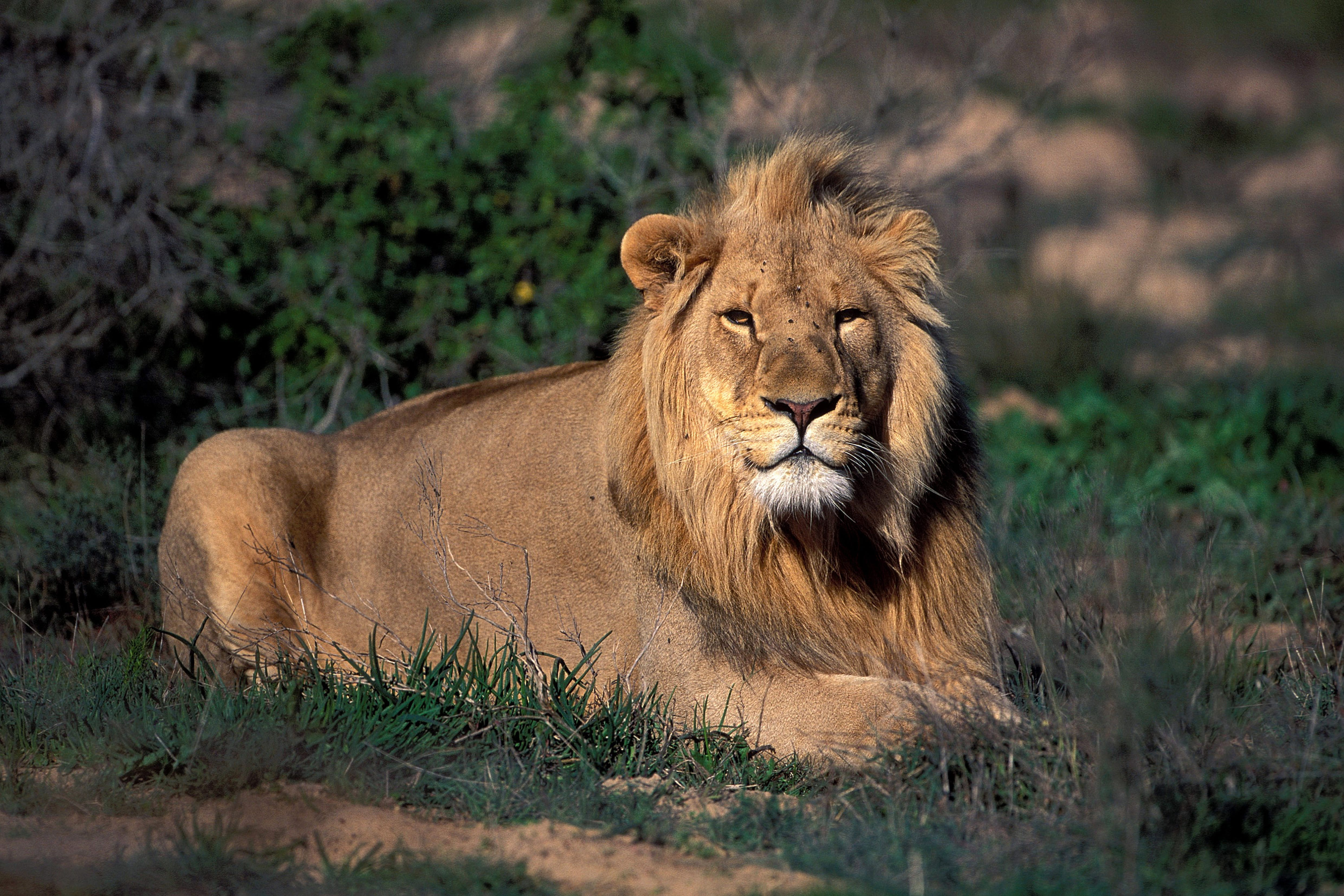 Resting Male Lion (00010816)