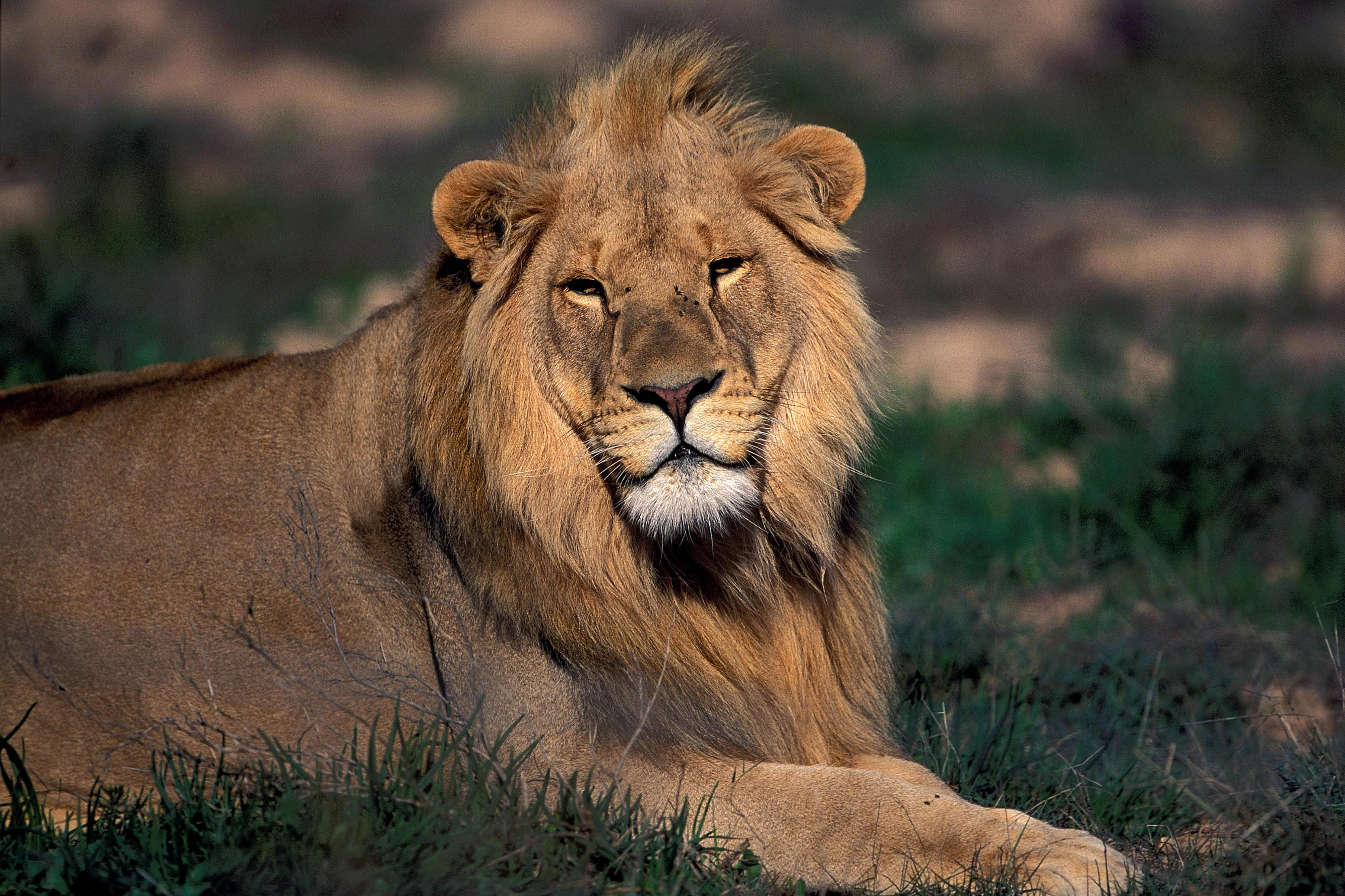 Resting Male Lion (00010827)