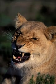A Female lion snarling (00010762)