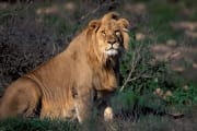 Resting Male Lion (00010808)