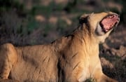 A Female lion yawning widely (00010857)
