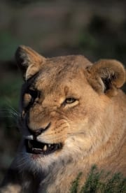 A Female lion snarling (00010874)