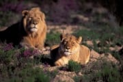 Pair of African Lions (00010896)