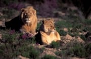 Pair of African Lions In flowering flowers (00010898)