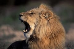 A Male lion yawning widely (00010651)