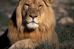 Lion portrait (00010692)