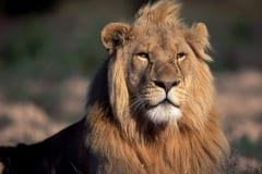 Male Lion portrait (00010732)