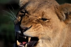 A Female lion snarling