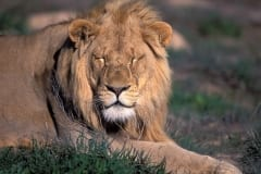 Resting Male Lion (00010846)