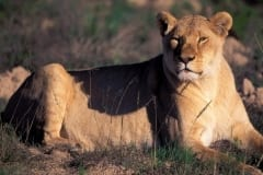 Resting Female lion (00010861)