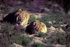 Resting Pair of African Lions (00010899)