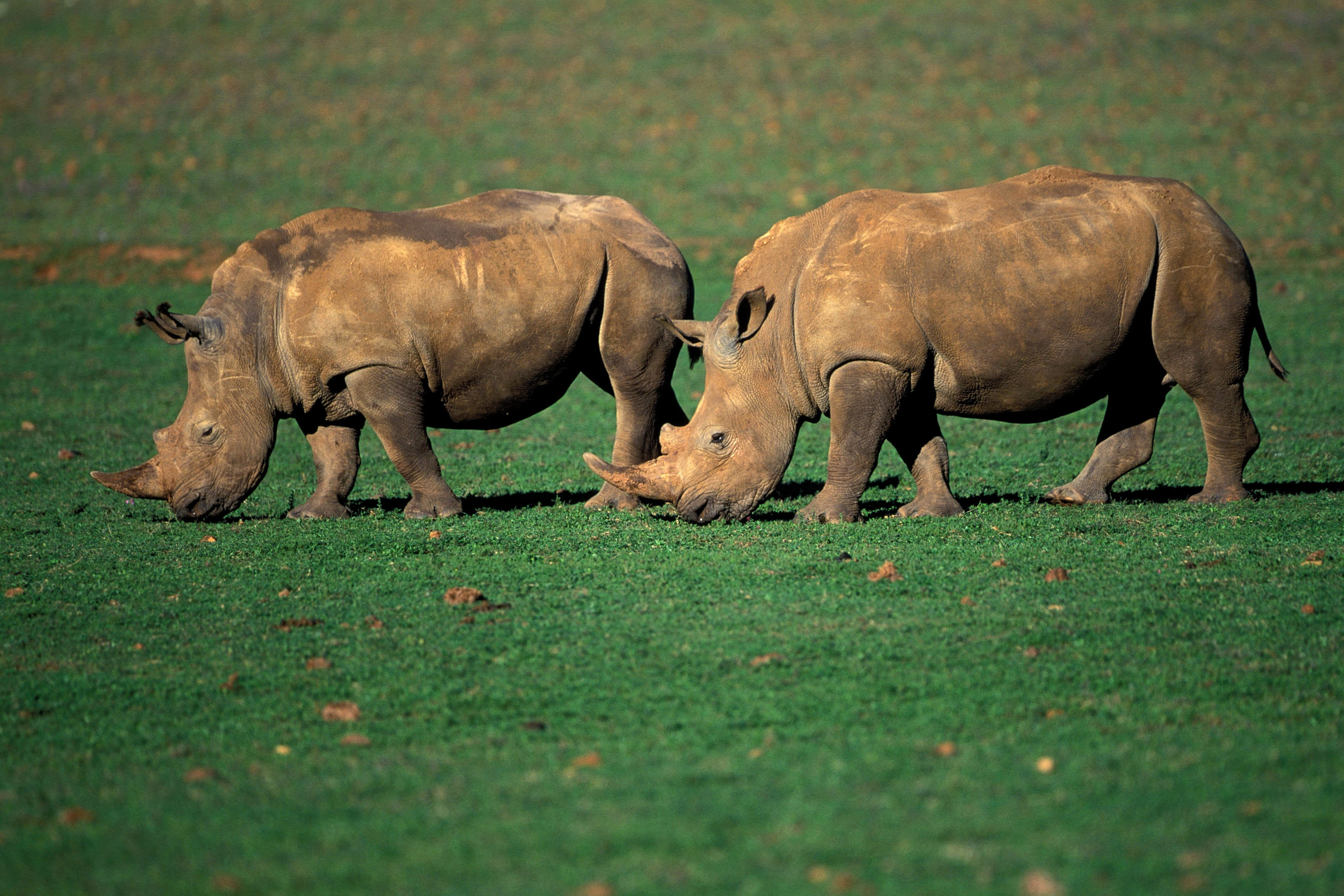 Two White Rhino (00010940)